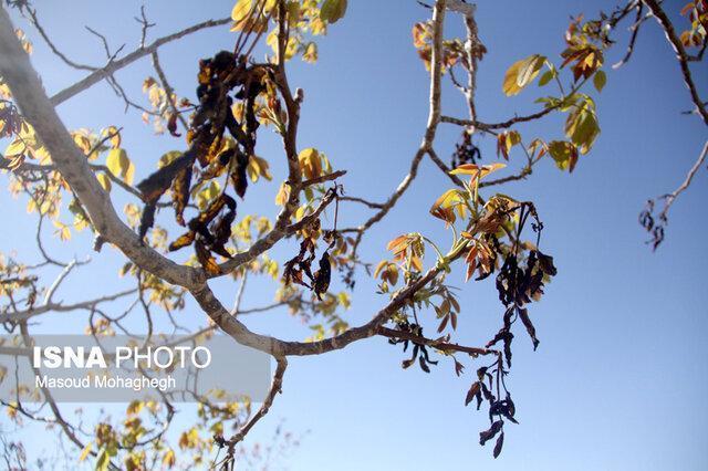 تداوم سامانه بارشی در چهارمحال و بختیاری، احتمال سرمازدگی درختان در بن و سامان